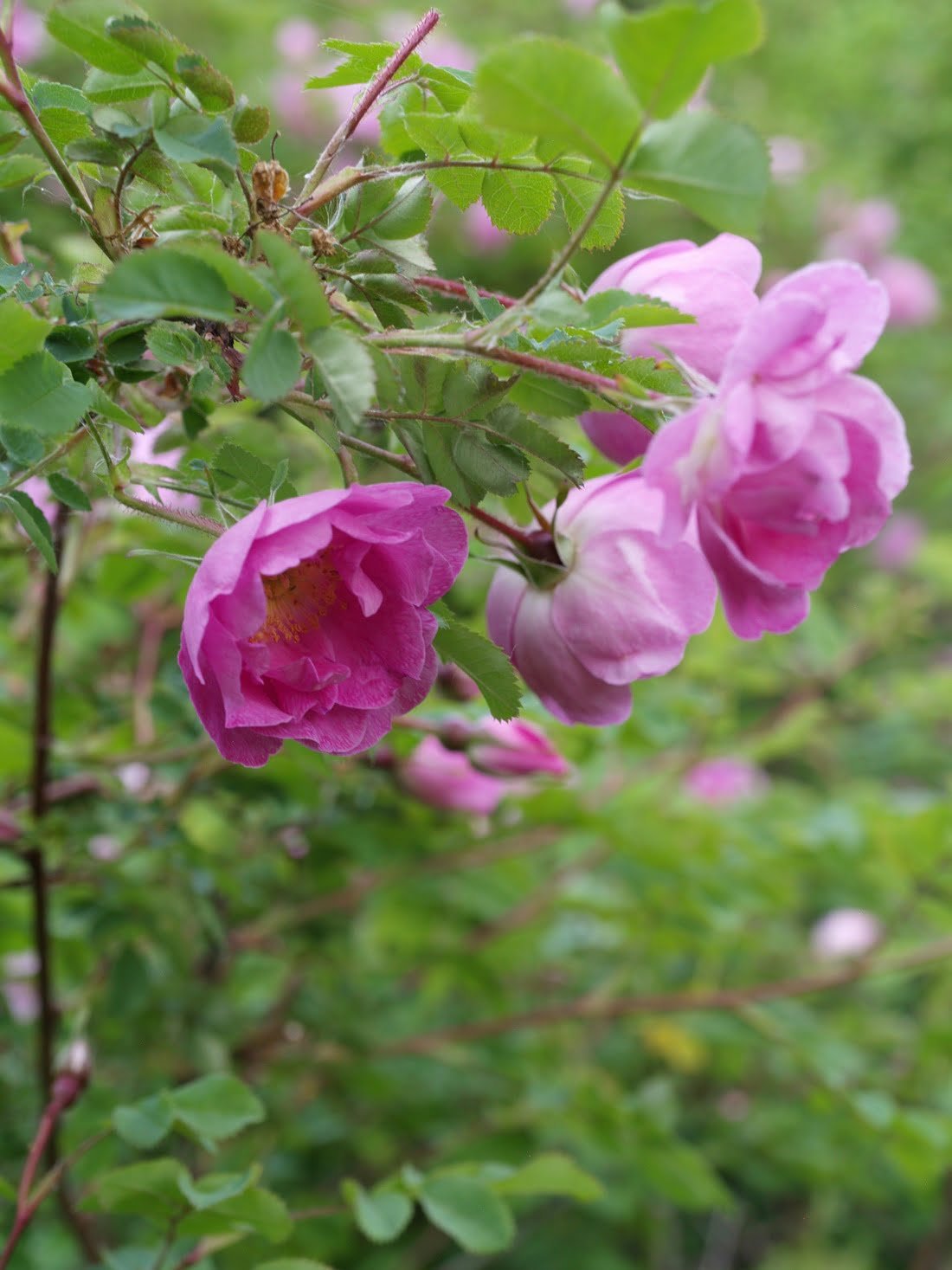 Piipahdus ruusupuistoon Kellokoskella