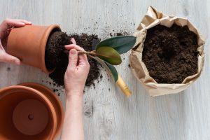 Read more about the article Pitääkö viherkasvi joka vuosi istuttaa suurempaan ruukkuun?